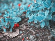 Bello fondo blu naturale favoloso fantastico Rosso maturo c fotografia stock libera da diritti