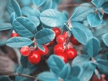 Bello fondo blu naturale favoloso fantastico Rosso maturo c immagini stock libere da diritti
