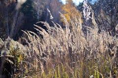 Bello fondo con erba asciutta lanuginosa nel campo di autunno fotografia stock libera da diritti