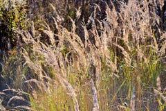 Bello fondo con erba asciutta lanuginosa nel campo di autunno fotografie stock libere da diritti