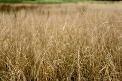 Bello fondo con erba asciutta lanuginosa nel campo di autunno immagini stock