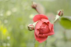 Bello fondo con una rosa Immagini Stock Libere da Diritti