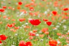 Bello fondo dei fiori del prato e dei papaveri rossi Immagine Stock Libera da Diritti