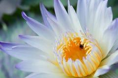 Bello fondo del fiore di loto Concetto del fondo della natura blA Immagini Stock