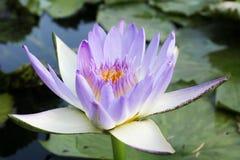 Bello fondo del fiore di loto Concetto del fondo della natura blA Fotografie Stock