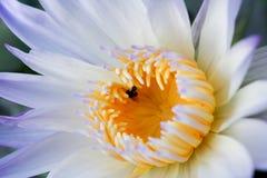 Bello fondo del fiore di loto Concetto del fondo della natura Insetto nero con il fiore del loto Immagini Stock