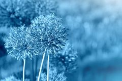 Bello fondo del modello della molla con il fiore blu Chiuda su del fiore dell'allium Fotografia Stock Libera da Diritti