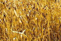 Bello fondo del salvaschermo di giallo dell'erba di autunno della natura siberiana Immagine Stock