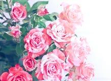 Bello, fondo delicato con le rose Rose delicate su una luce Fotografie Stock