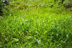Bello fondo dell'erba verde Fotografie Stock Libere da Diritti