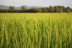 Bello fondo della risaia Fotografie Stock Libere da Diritti