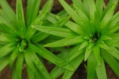 Bello fondo delle foglie verdi del giglio Fiori di lilium longiflorum nel giardino Struttura delle foglie immagine stock libera da diritti