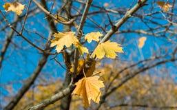 Bello fondo di autunno dalle foglie di acero gialle sul blu Fotografia Stock Libera da Diritti