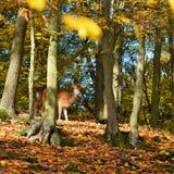 Bello fondo di colore della natura di autunno nel legno con i cervi selvaggi Daini, & x28; Dama& x29 del Dama; Immagini Stock Libere da Diritti