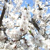 Bello fondo di fioritura del ramo della mandorla immagine stock
