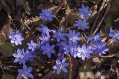 Bello fondo di primavera con il primo piano delle epatiche al sole Fotografia Stock Libera da Diritti