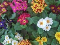Bello fondo di un mazzo di bianco misto, del rosa e dei colori differenti, primo piano immagine stock libera da diritti
