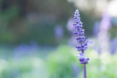 Bello fondo di Violet Lavender Flowers For Nature del mazzo immagine stock