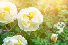 Bello fondo floreale della natura con le rose selvatiche tenere bianche sulle foglie verdi dell'arbusto nel chiarore dorato paste Fotografia Stock Libera da Diritti