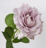 Bello fondo luminoso di gray della rosa. Fotografia Stock Libera da Diritti