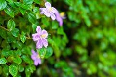 Bello fondo porpora del fiore Fotografia Stock