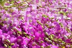 Bello fondo rosa dell'orchidea Immagine Stock Libera da Diritti