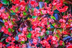 Bello fondo rosso del fiore delle begonie di Semperflorens Semperfl Fotografie Stock Libere da Diritti