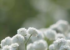 Bello fondo verde chiaro floreale Fiori bianchi del mazzo dopo la pioggia sul bokeh del fondo closeup Fotografie Stock