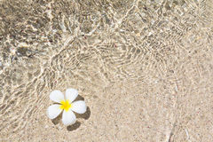 Bello frangipane del fiore Fotografia Stock