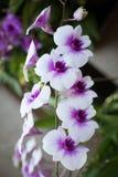 Bello fresco Colourful delle orchidee Fotografia Stock Libera da Diritti