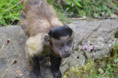Bello fronte di giovane scimmia trapuntata del cappuccino Fotografia Stock