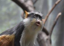 Bello fronte di un ` s Mona Monkey Sitting Down del lupo Fotografia Stock