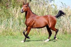 Bello funzionamento arabo del cavallo della razza sul campo Fotografia Stock