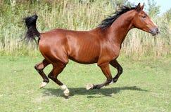 Bello funzionamento arabo del cavallo della razza sul campo Fotografie Stock