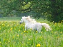 Bello funzionamento del cavallo Fotografia Stock