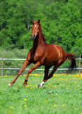 Bello funzionamento del cavallo di baia Fotografia Stock