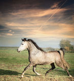 Bello funzionamento grigio del cavallo dello stallone sullo sciolto sopra il fondo del pascolo Immagine Stock