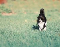 Bello funzionamento veloce di divertimento del gatto sul prato verde di estate Fotografia Stock Libera da Diritti