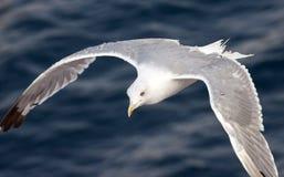 Bello gabbiano bianco Fotografie Stock Libere da Diritti