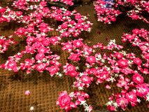 Bello galleggiante rosa dei petali nello stagno fotografia stock libera da diritti