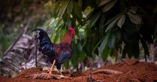 Bello gallo che cammina da solo Fotografie Stock Libere da Diritti