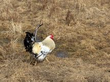 Bello gallo domestico Fotografie Stock Libere da Diritti