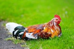 Bello gallo selvaggio sull'isola di Kauai Fotografie Stock