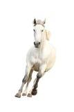 Bello galoppare bianco del cavallo isolato su bianco Fotografie Stock Libere da Diritti