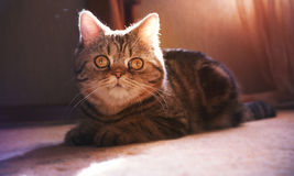 Bello gattino britannico nell'appartamento Immagine Stock