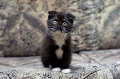 Bello gattino che si siede sullo strato Fotografie Stock Libere da Diritti