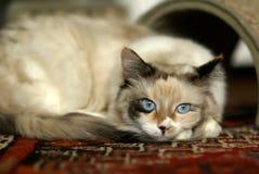Bello gattino del ragdoll Fotografie Stock