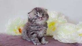 Bello gattino lanuginoso di razza 4K scozzese stock footage