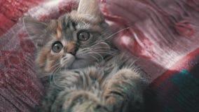 Bello gattino sveglio a casa Gattino grigio curioso Piccolo animale domestico stock footage