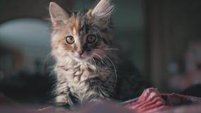 Bello gattino sveglio a casa Gattino grigio curioso Piccolo animale domestico archivi video
